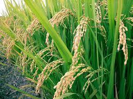 Gebakken in gezond rijstolie!